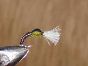 Cdc olive thorax
